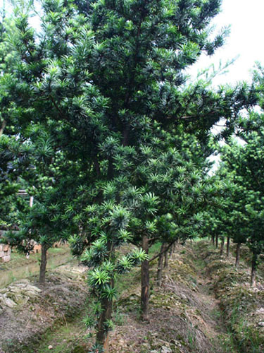 南方树木种类图片名称