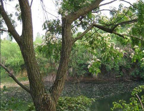 树皮纤维可造纸,春季叶未展开的嫩头芽可作鲜菜调食,炒食或制成干菜.